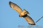 Red-Shouldered Hawk (in flight)