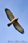 Broad-winged Hawk (in flight)
