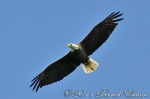 Bald Eagle (in flight)