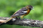 Baltimore Oriole (Juvenile Male)