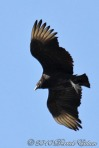 Black Vulture (in flight)