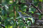 Chestnut-sided Warbler (Non-Breeding)