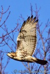 Red-Tailed Hawk (in flight)