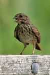 Song Sparrow (juvenile)