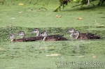 Wood Duck (ducklings)