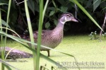 Wood Duck (non-breeding male)