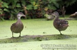 Wood Ducks (non-breeding males)