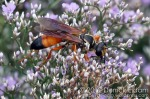 Great Golden Digger Wasp